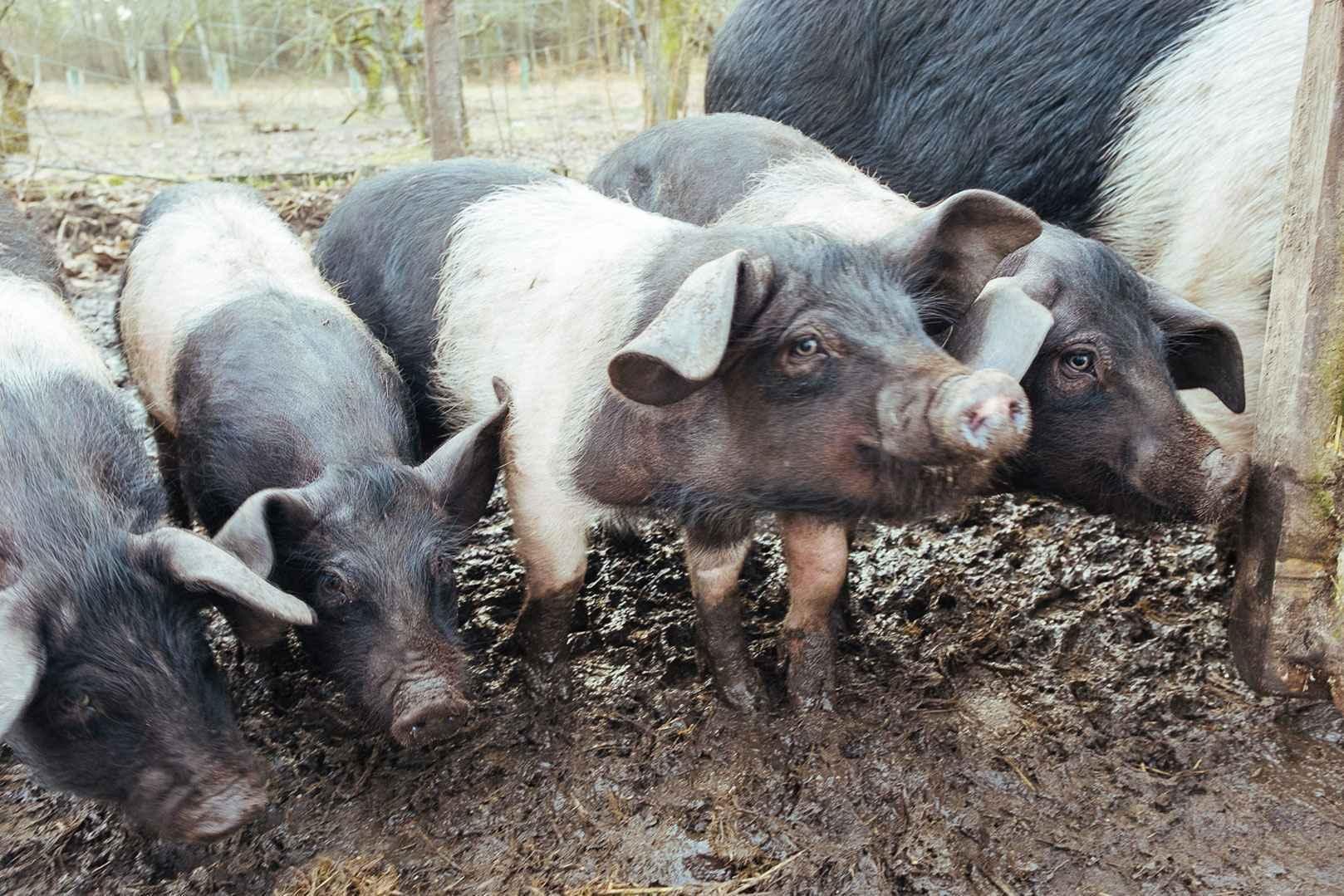 Sattelschweine im Forsthaus Neustrelitz