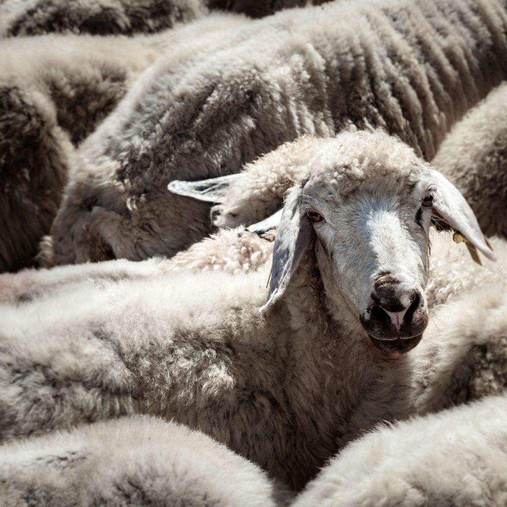 Die Schafe liefern alles für die Fabrik: Dünger, Wolle, Fleisch, Häute und Milch, für Joghurt, Butter und Käse
